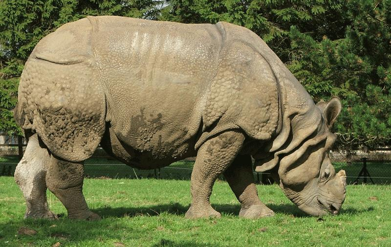 Great One-horned Rhinoceros (Rhinoceros unicornis) - Wiki; Image ONLY