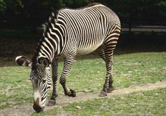 Grevy's Zebra (Equus grevyi) - Wiki; Image ONLY