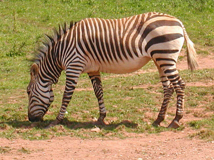 Mountain Zebra (Equus sp.) - Wiki; Image ONLY