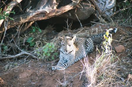 African leopard, Panthera pardus pardus.jpg