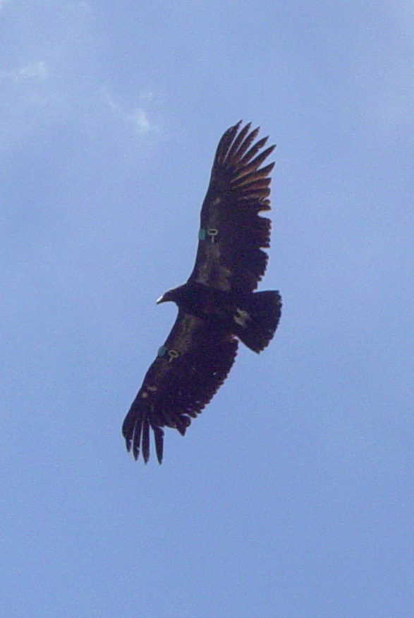 California Condor (Gymnogyps californianus) - Wiki; Image ONLY