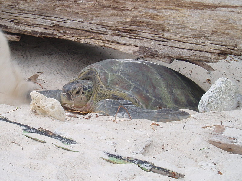 Green Sea Turtle (Chelonia mydas) - Wiki; Image ONLY