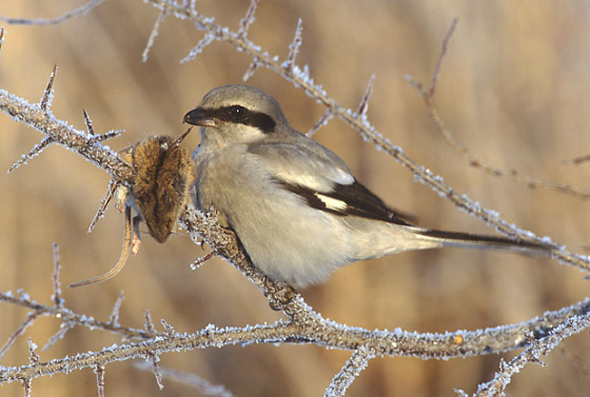 Great Grey Shrike (Lanius excubitor) - Wiki; Image ONLY