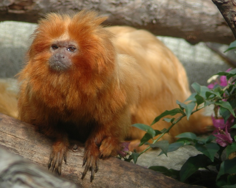 Golden Lion Tamarin (Leontopithecus rosalia) - Wiki; DISPLAY FULL IMAGE.