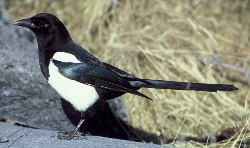 Black-billed Magpie (Pica pica) - Wiki; Image ONLY