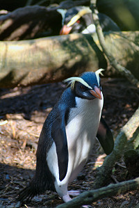 Fiordland Crested Penguin (Eudyptes pachyrhynchus) - Wiki; Image ONLY