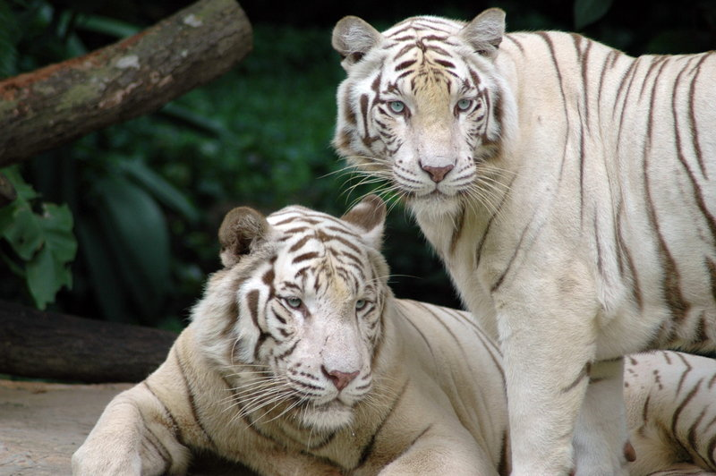 White Tiger (Panthera tigris tigris) - Wiki; DISPLAY FULL IMAGE.