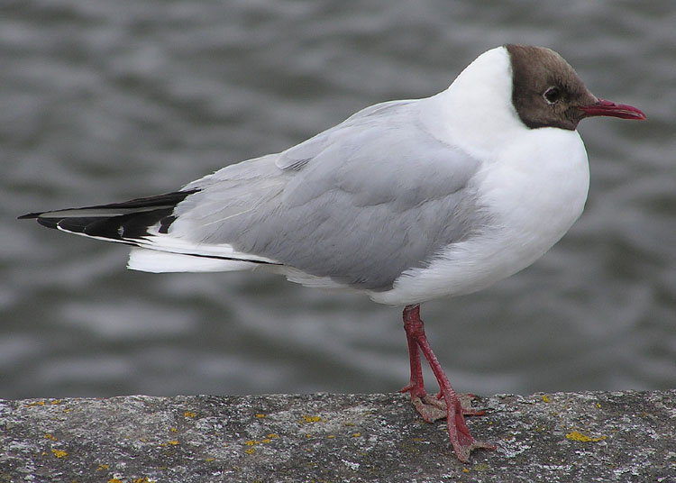 Black-headed Gull (Larus ridibundus) - Wiki; Image ONLY
