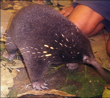 Long-beaked Echidna (Zaglossus bruijni) - fact sheet; Image ONLY