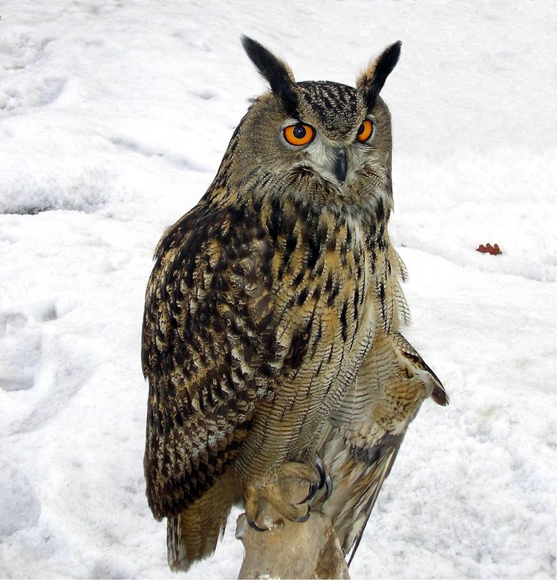 Eurasian Eagle Owl (Bubo bubo) - Wiki; DISPLAY FULL IMAGE.