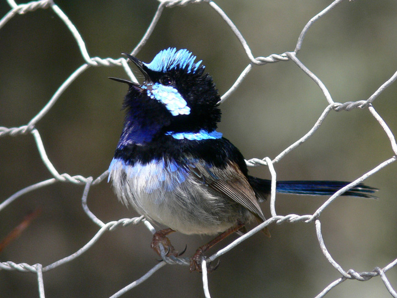 Superb Fairy-wren (Malurus cyaneus) - Wiki; DISPLAY FULL IMAGE.