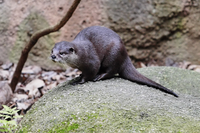 Oriental Small-clawed Otter (Aonyx cinereus) - Wiki; DISPLAY FULL IMAGE.