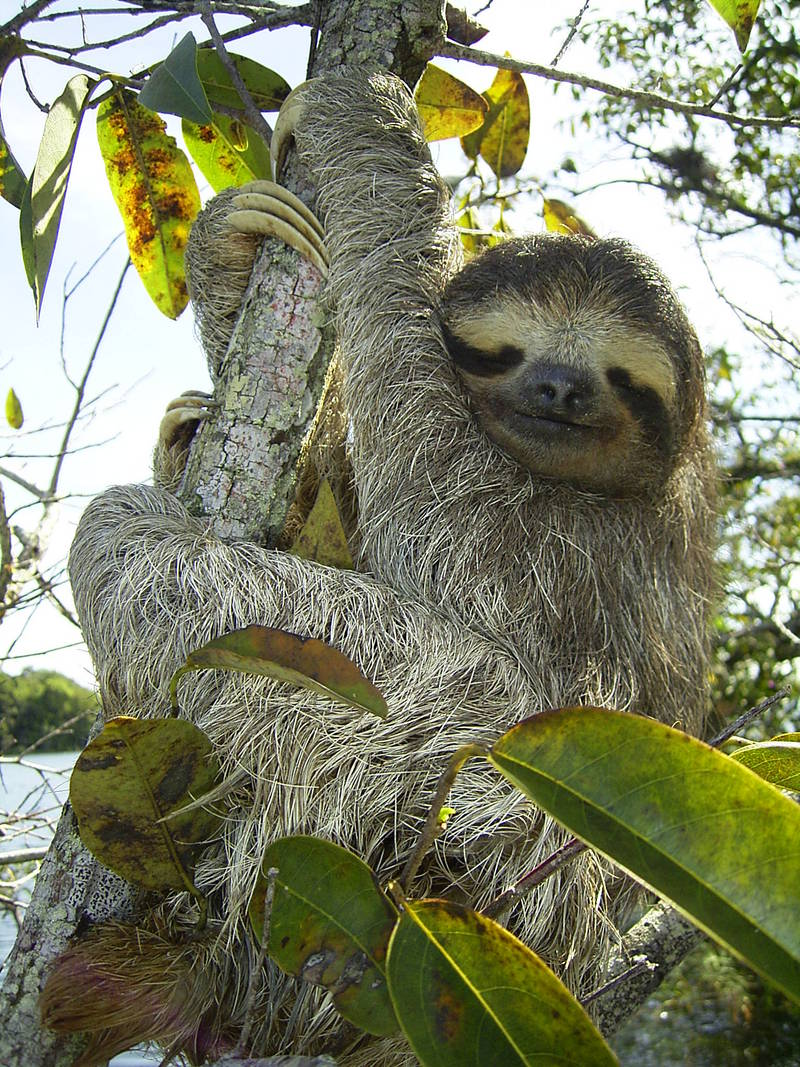 Brown-throated Three-toed Sloth (Bradypus variegatus) - Wiki; DISPLAY FULL IMAGE.
