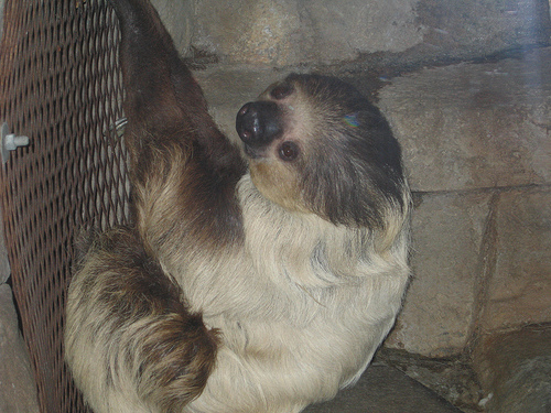 Hoffmann's Two-toed Sloth (Choloepus hoffmanni) - Wiki; Image ONLY