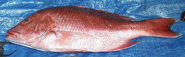 Northern Red Snapper (Lutjanus campechanus) - Wiki; Image ONLY