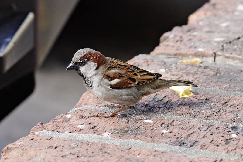 House Sparrow (Passer domesticus) - Wiki; DISPLAY FULL IMAGE.
