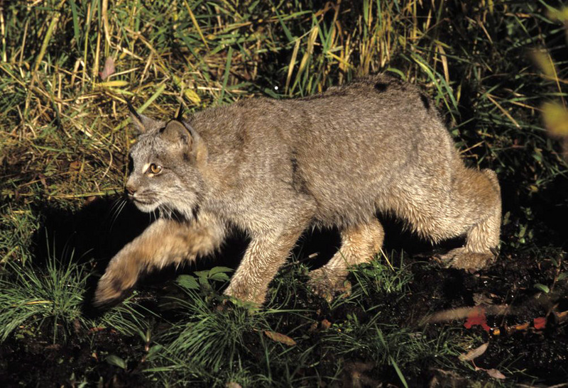 Canadian Lynx (Lynx canadensis) - Wiki; DISPLAY FULL IMAGE.