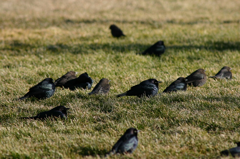 Brewer's Blackbird (Euphagus cyanocephalus) - Wiki; DISPLAY FULL IMAGE.