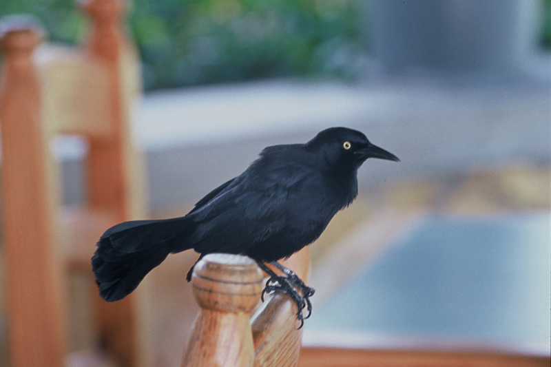 Greater Antillean Grackle (Quiscalus niger) - Wiki; DISPLAY FULL IMAGE.