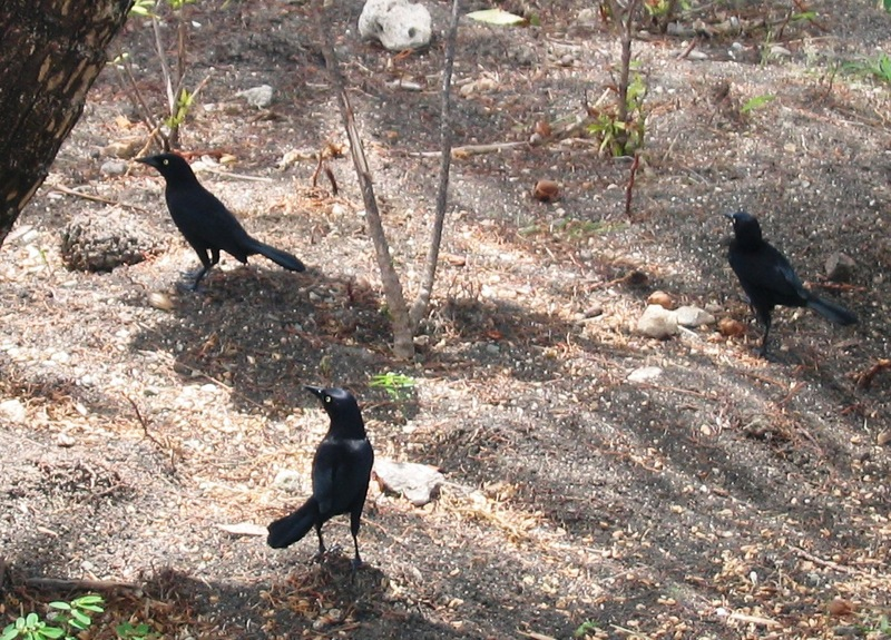 Carib Grackle (Quiscalus lugubris) - Wiki; DISPLAY FULL IMAGE.