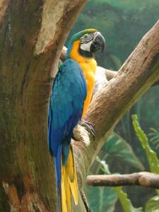 Blue-and-yellow Macaw (Ara ararauna) - Wiki; Image ONLY