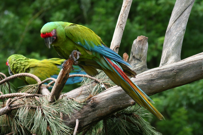 Great Green Macaw (Ara ambiguus) - Wiki; DISPLAY FULL IMAGE.