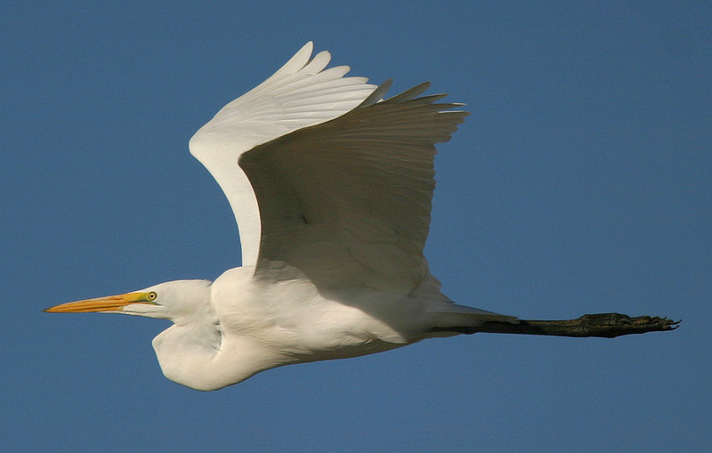 Great Egret (Casmerodius albus) - Wiki; DISPLAY FULL IMAGE.