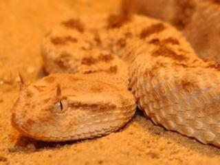 Desert Horned Viper (Cerastes cerastes) head.jpg
