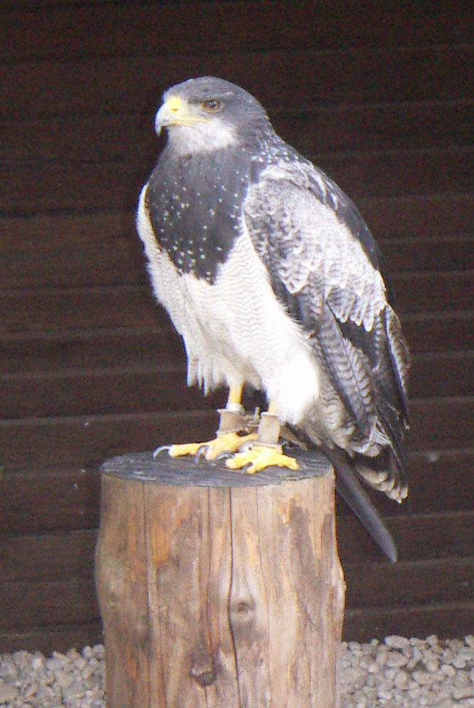 Black-chested Buzzard-eagle (Geranoaetus melanoleucus) - Wiki; Image ONLY