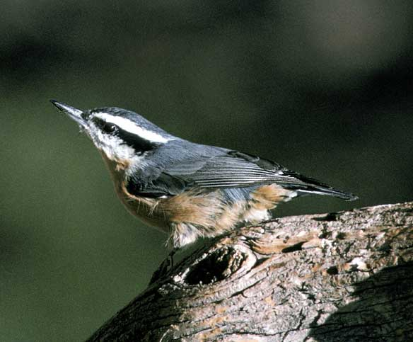 Red-breasted Nuthatch (Sitta canadensis).jpg