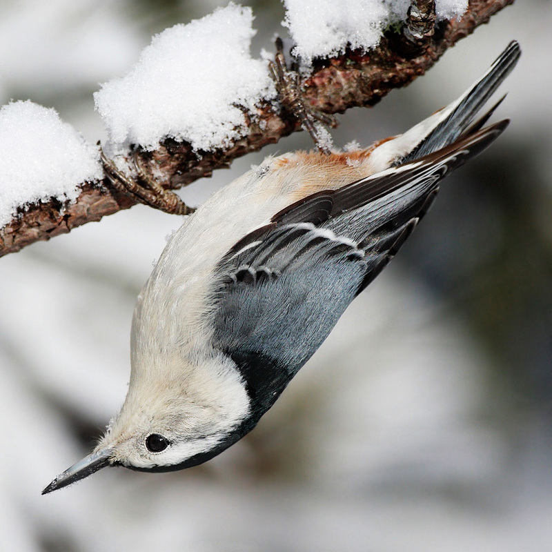 White-breasted Nuthatch (Sitta carolinensis) - Wiki; DISPLAY FULL IMAGE.