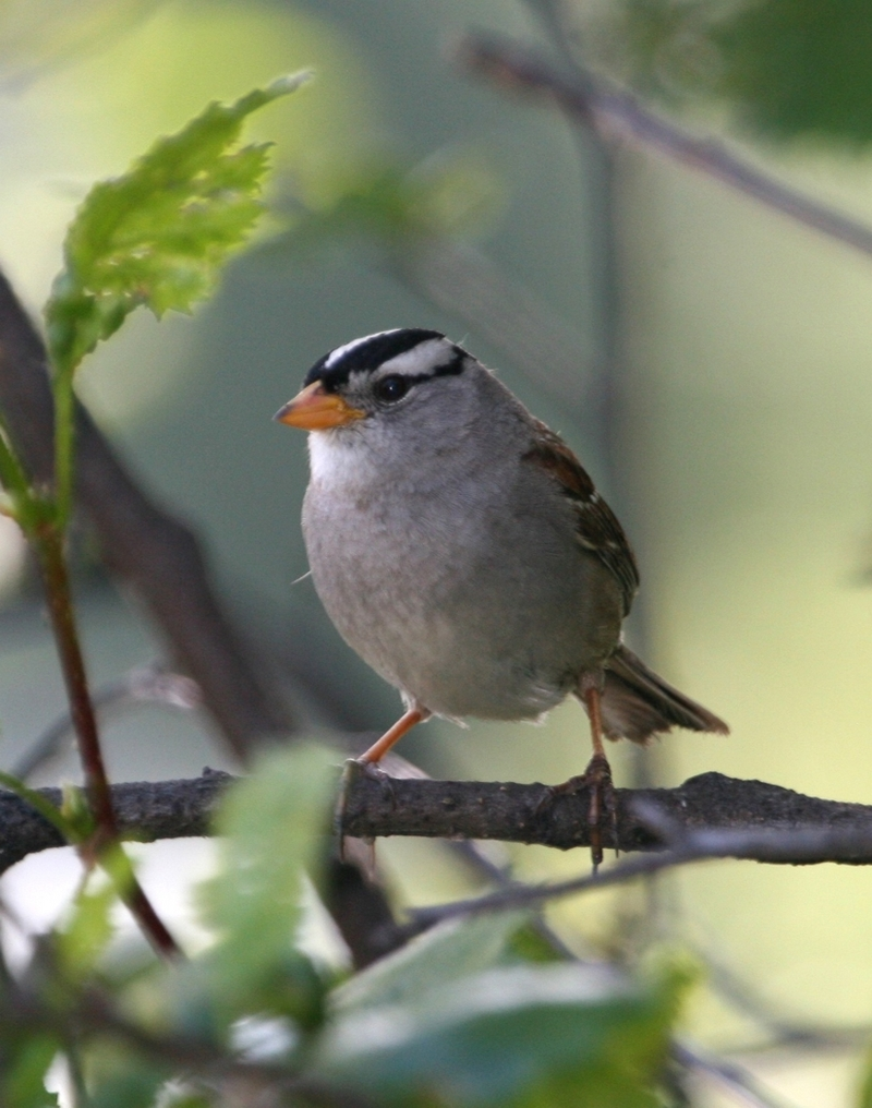 White-crowned Sparrow (Zonotrichia leucophrys) - Wiki; DISPLAY FULL IMAGE.