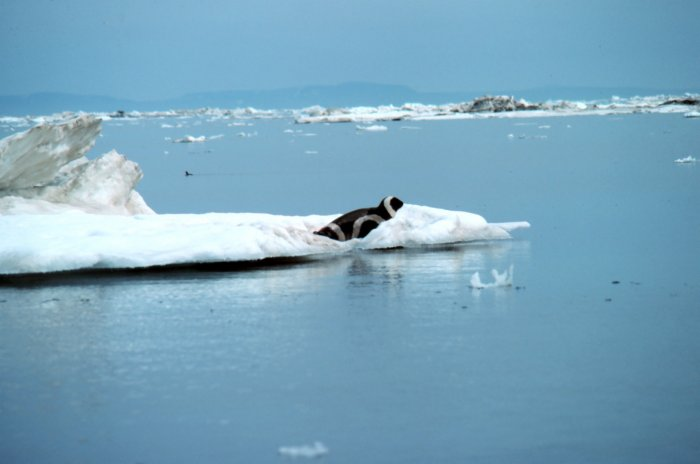 Ribbon Seal (Phoca fasciata) - Wiki; Image ONLY