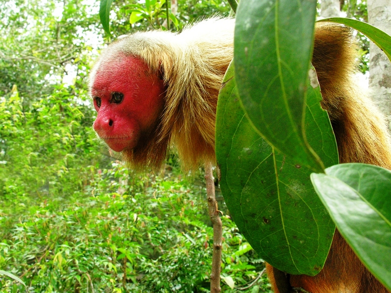 Bald Uakari (Cacajao calvus) - Wiki; DISPLAY FULL IMAGE.