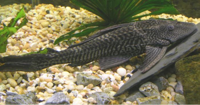 Suckermouth Catfish (Hypostomus plecostomus) - Wiki; Image ONLY