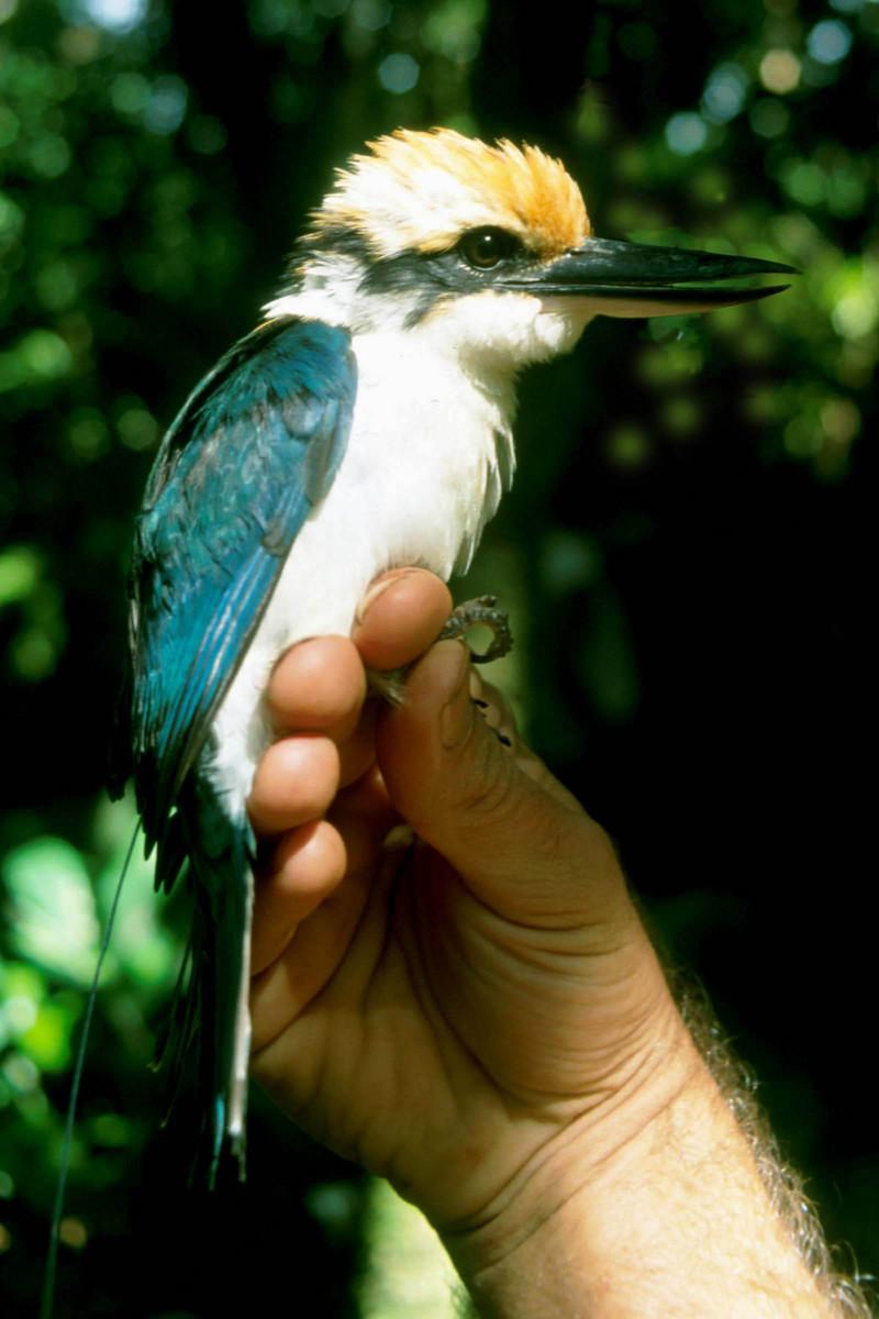 Micronesian Kingfisher DK-Todiramphus cinnamominus.jpg