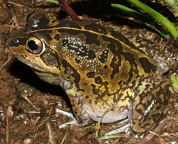 Short-footed Frog (Cyclorana brevipes) - Wiki; Image ONLY