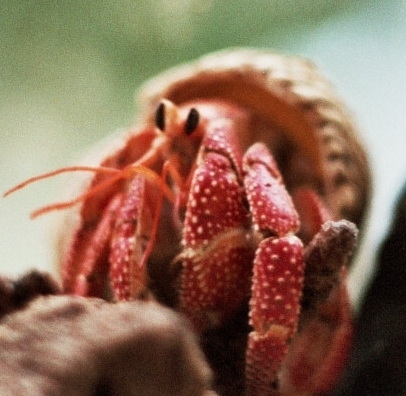 Strawberry Land Hermit Crab (Coenobita perlatus) - Wiki; Image ONLY