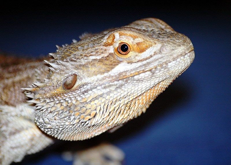 Central Bearded Dragon (Pogona vitticeps) - Wiki; DISPLAY FULL IMAGE.