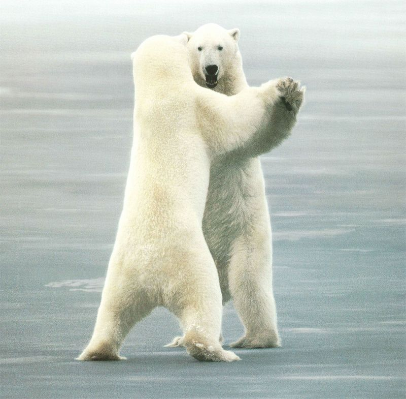 NLS-Animal Antics-Polar Bears; DISPLAY FULL IMAGE.