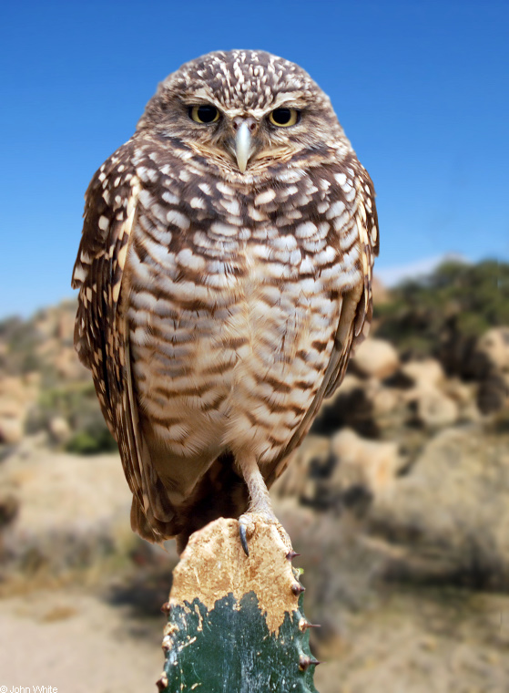 Burrowing Owl (Athene cunicularia) - Wiki; Image ONLY