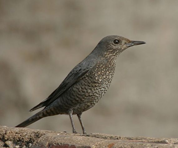 Blue Rock-Thrush (Monticola solitarius) - Wiki; Image ONLY