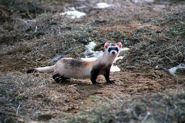 Black-footed Ferret (Mustela nigripes) - Wiki; Image ONLY