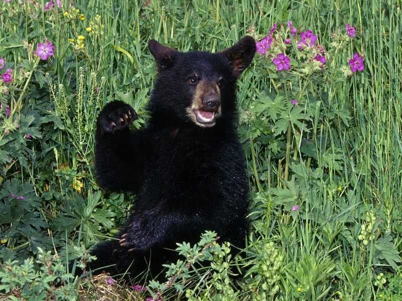 American Black Bear Cub in Wildflowers; DISPLAY FULL IMAGE.