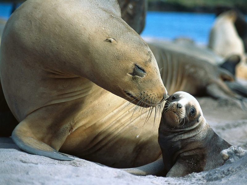 Sea Lion, Smooch Auckland Islands, New Zealand; DISPLAY FULL IMAGE.