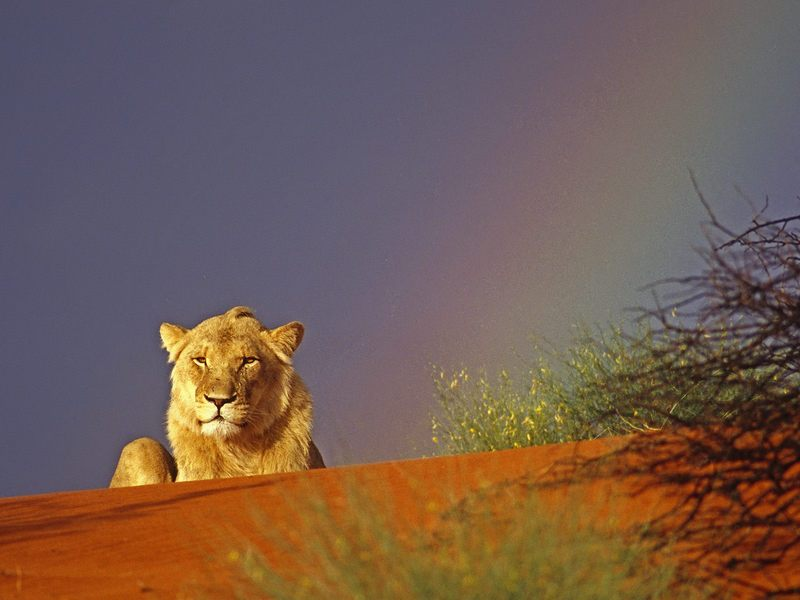 Young Lion Resting in the Kalahari Red Sand Dunes, Intu Africa Reserve, Namibia, Africa; DISPLAY FULL IMAGE.