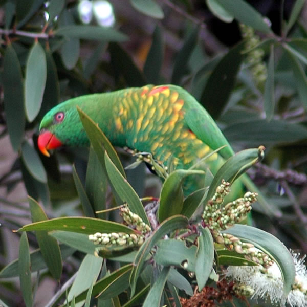 Scaly-breasted Lorikeet (Trichoglossus chlorolepidotus) - Wiki; Image ONLY