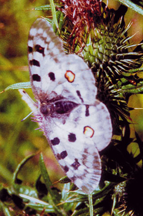 Mountain Apollo (Parnassius apollo) - Wiki; Image ONLY