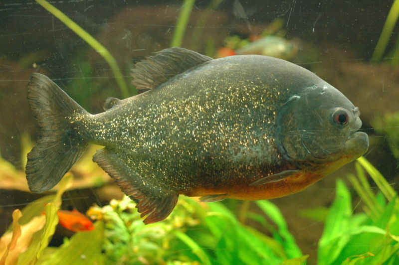 Red-bellied Piranha (Pygocentrus nattereri) - Wiki; Image ONLY