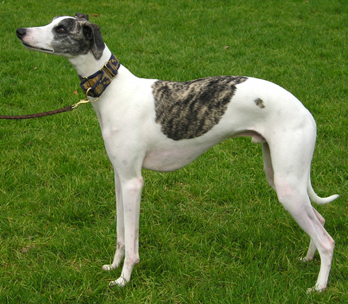 Whippet (a breed of dog) - Wiki; Image ONLY